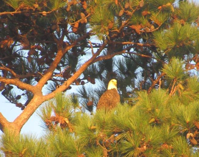 Potomac eagle 2